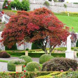 Acer palmatum 'Atro purpurea'