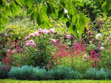 Roses, penstemons and clematis