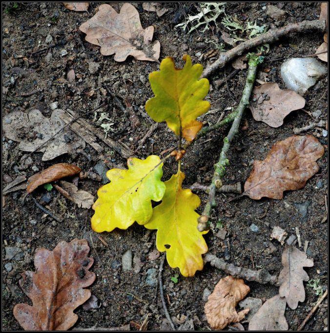 fallen-oak