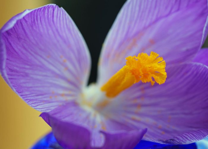 5-minute-crocus-1
