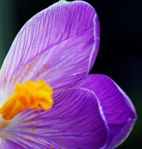 5-minute-crocus-2