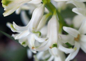 hyacinth-3
