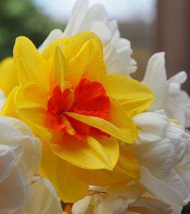 5--minutes-daffodils (2)
