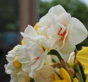 5--minutes-daffodils (3)