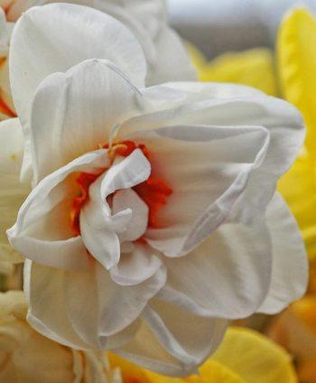 5--minutes-daffodils (6)