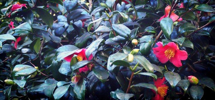 Flower Portrait: Camellia