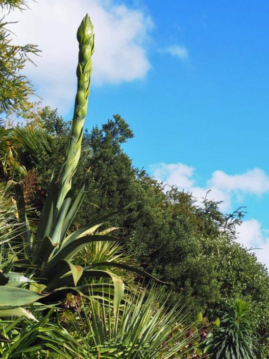 Agave with flower spike