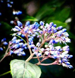 Violet buds