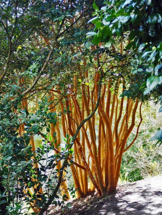 Luma apiculata (Chilean myrtle)