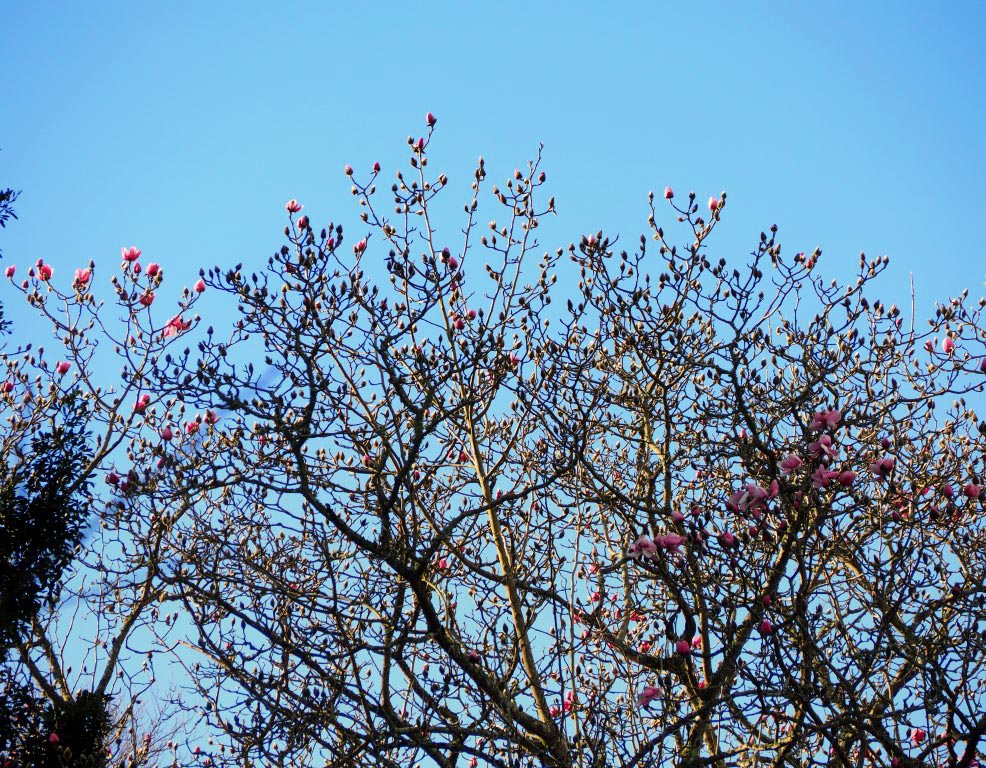 The giant Himalayan 'Pink Tulip tree'