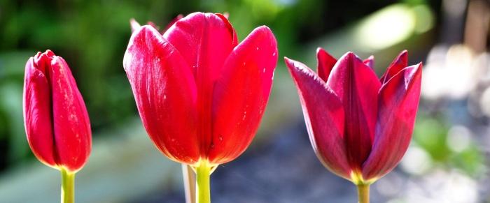 Tulipmania #3