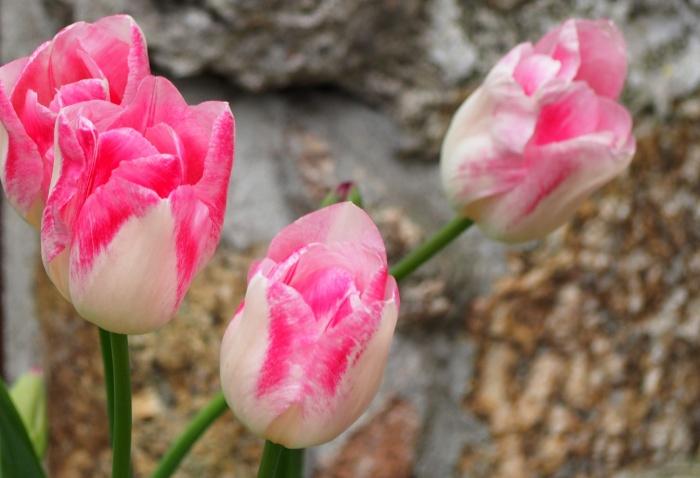Tulipmania #1