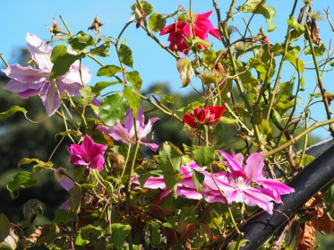Roses and clematis