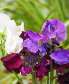July - sweetpeas