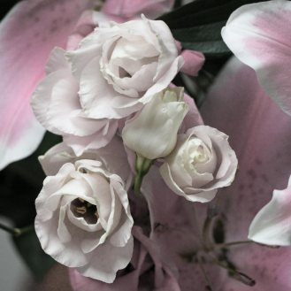 Eustoma, commonly known as lisianthus or prairie gentian