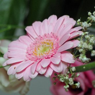 Germini (little Gerbera)