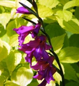 Whistling Jack / Sword Lily
