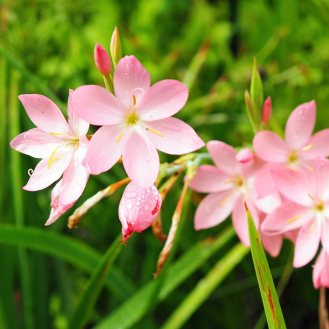 Hesperantha coccinea 'Sunrise'
