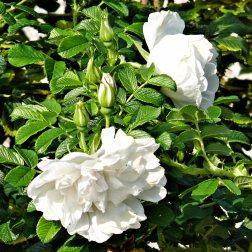 Rosa-Rugosa