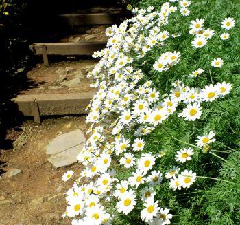 Daisy Steps