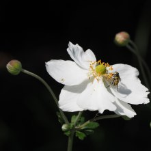 White anemone with hoverfly