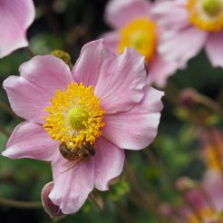 Pink anemone with bee