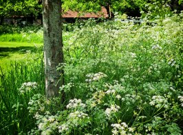 Frothy cow parsley