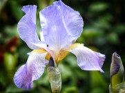 iris (12)