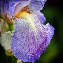 iris (15)