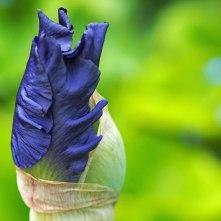 iris (6)