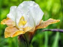 iris (8)