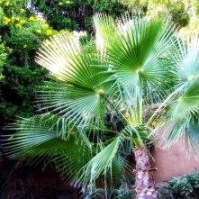 Fan Palm / Chamaerops humilis