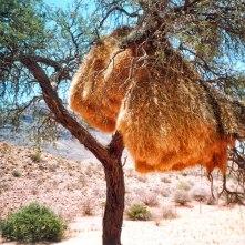 Communal nests of sociable weaver birds