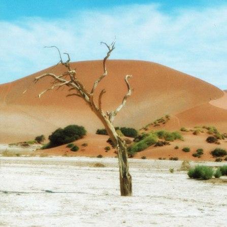 Dead camel thorn tree at Deadvlei - Sossusvlei