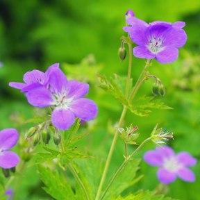 geranium (3)