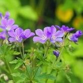 geranium mayflower