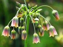 Nectaroscordum siculum
