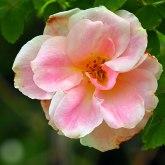 species rose (2)